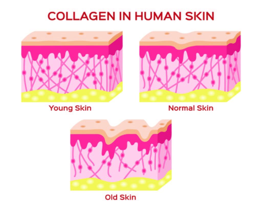 diagram of collagen in skin